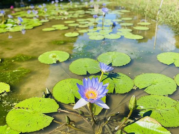 宝山湖青い睡蓮の花