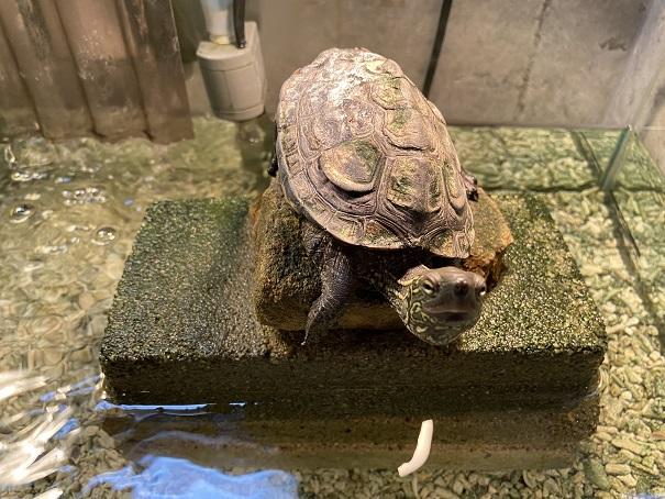 日和佐うみがめ博物館カレッタ 太古のフロアの亀