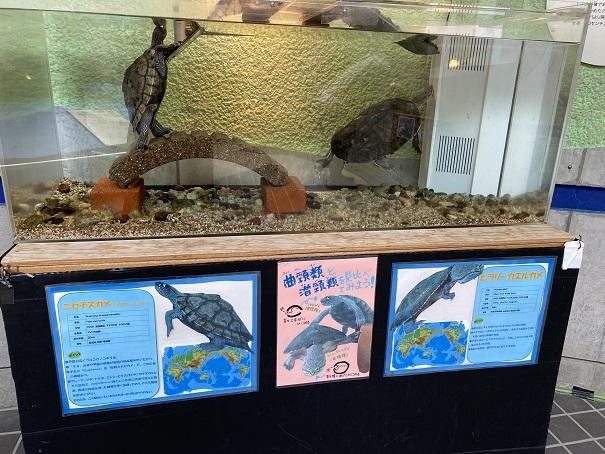 日和佐うみがめ博物館カレッタ 太古のフロアの亀2