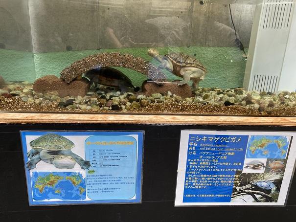 日和佐うみがめ博物館カレッタ 太古のフロアの亀3