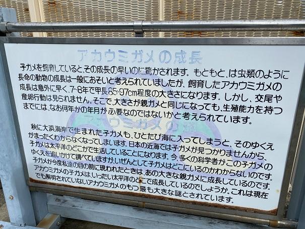 日和佐うみがめ博物館カレッタ アカウミガメの成長