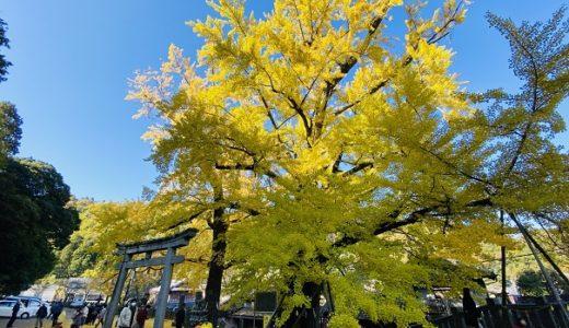 岩部八幡神社 大銀杏の紅葉 綺麗な黄色いじゅうたん 高松市