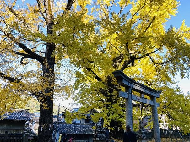 岩部八幡神社 大銀杏左側から