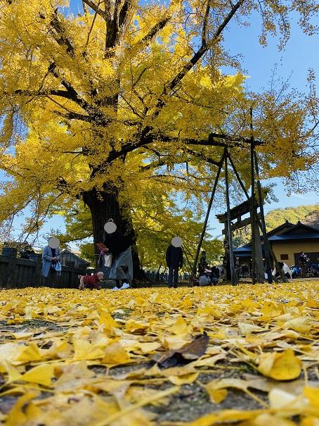 岩部八幡神社 黄色いじゅうたん