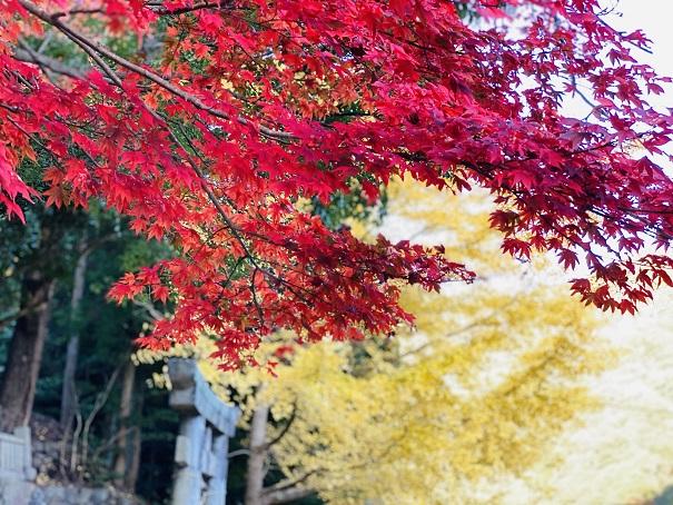 棒賀神社 紅葉と銀杏