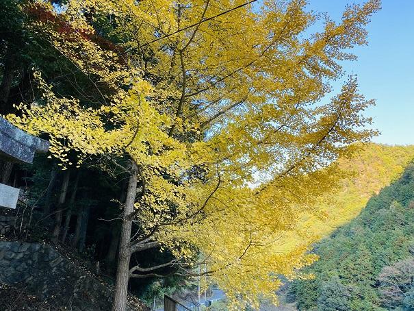 棒賀神社 銀杏2