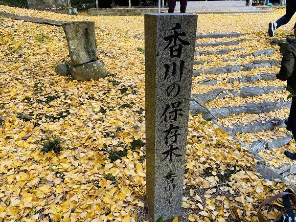 釈迦堂のイチョウ 香川の保存木
