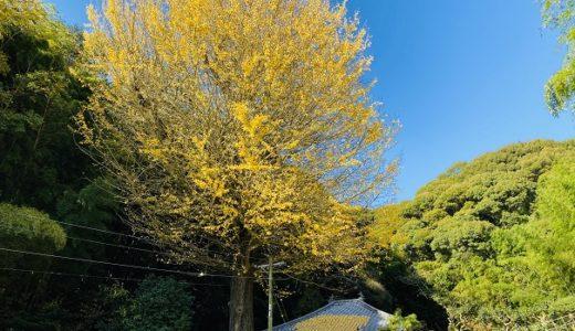 釈迦堂のイチョウの紅葉 香川の保存木 見事な黄色いじゅうたん 三豊市