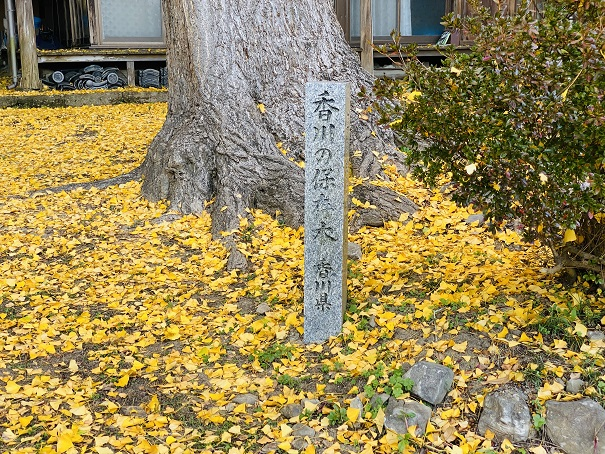 薬師院のイチョウ 香川の保存木石碑