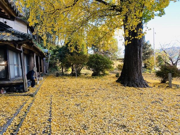 薬師院の大イチョウ 黄色いじゅうたん
