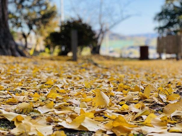 薬師院の大イチョウ 黄色いじゅうたん2