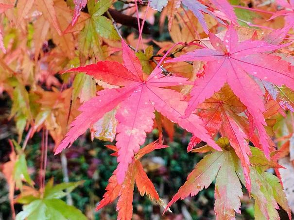 宇甘渓 紅葉の葉アップ