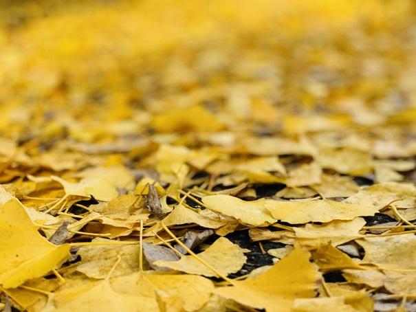 近水園 黄色いじゅうたん