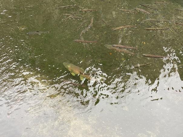 花見養魚センター 大きい魚