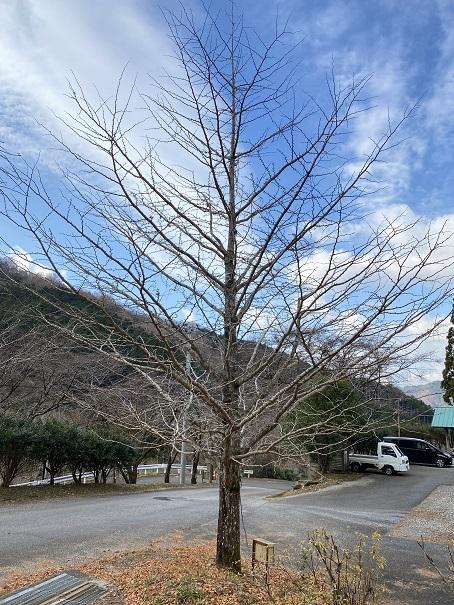グリーン・パークほどの 銀杏の木