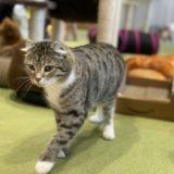 猫カフェ 美観neko ネコちゃんに癒される 倉敷美観地区