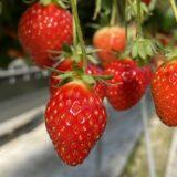 ひのいちご園 いちご狩り 15種類の品種を食べ比べ 西条市