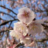 福成寺 讃岐寒桜
