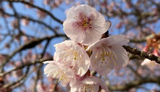 福成寺 早咲きの讃岐寒桜と遅咲きの椿寒桜が美しい 丸亀市
