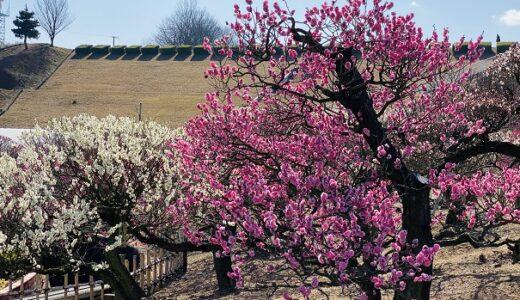 香川県園芸総合センター 蝋梅 梅 桜など四季折々の花を観賞