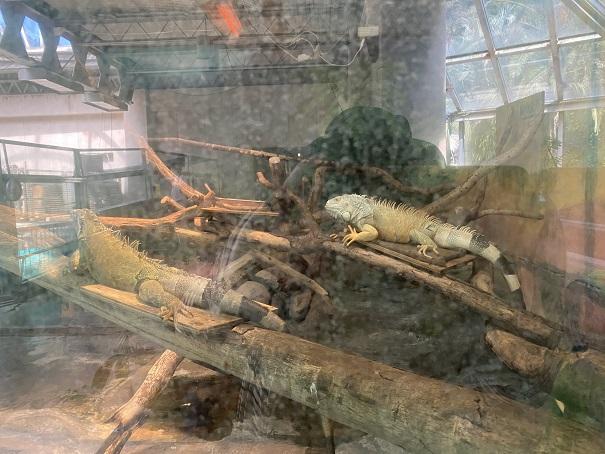 愛媛県立とべ動物園 グリーンイグアナ