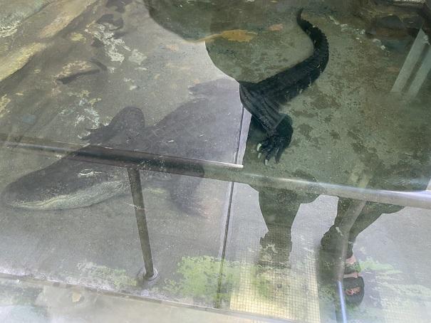 愛媛県立とべ動物園 メガネカイマン