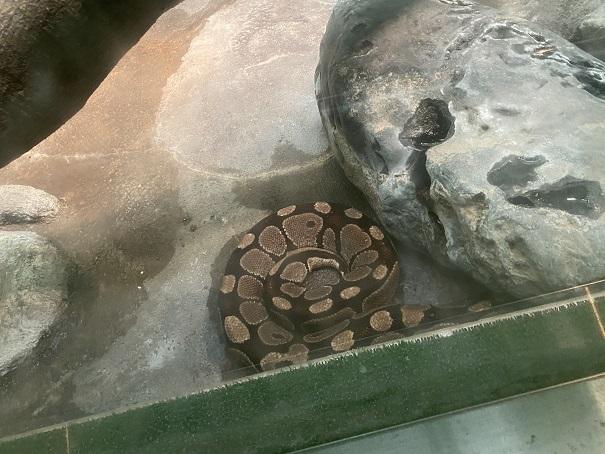 愛媛県立とべ動物園 ボールニシキヘビ
