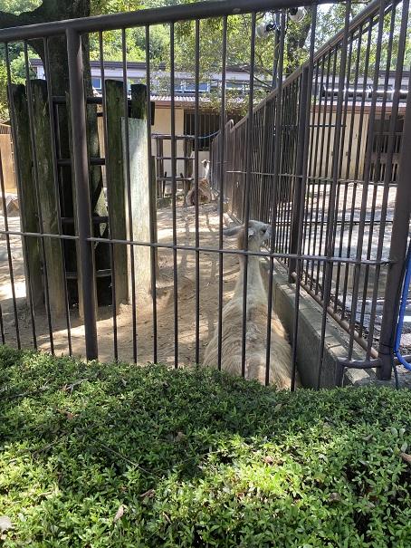 愛媛県立とべ動物園 ラマ1