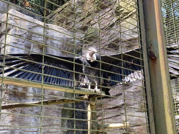 愛媛県立とべ動物園 コンドル2