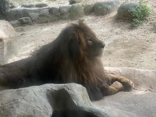 愛媛県立とべ動物園 ライオン