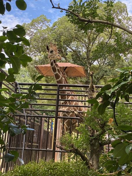 愛媛県立とべ動物園 キリン