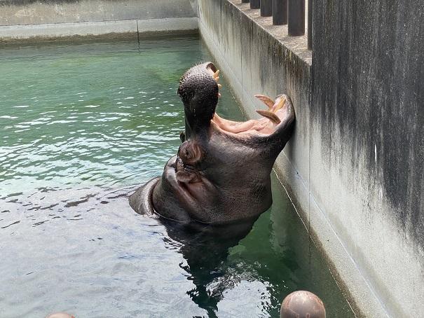 愛媛県立とべ動物園 大きな口を開けるカバ