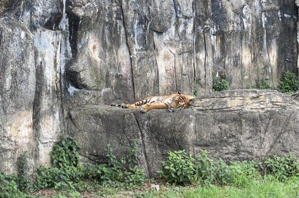 愛媛県立とべ動物園 トラ
