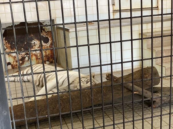 愛媛県立とべ動物園 ホワイトタイガー