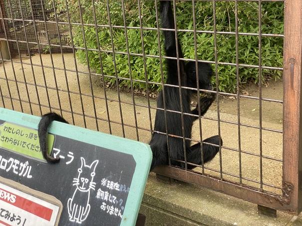 愛媛県立とべ動物園 クロクモザル尾