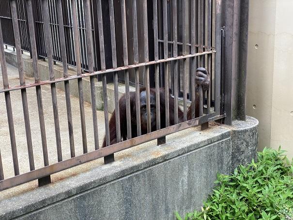 愛媛県立とべ動物園 オランウータン