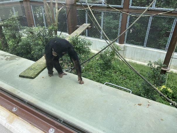 愛媛県立とべ動物園 チンパンジー
