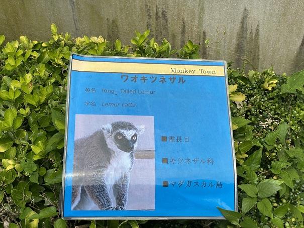 愛媛県立とべ動物園 ワオキツネザル案内