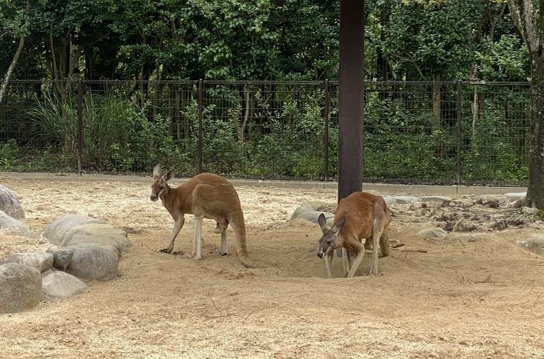 愛媛県立とべ動物園 アカカンガルー