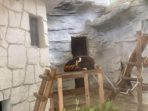 愛媛県立とべ動物園 レッサーパンダ