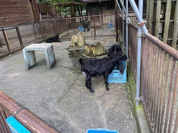 愛媛県立とべ動物園 ヤクシマヤギ