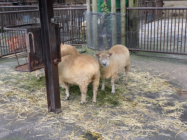 愛媛県立とべ動物園 ヤギ