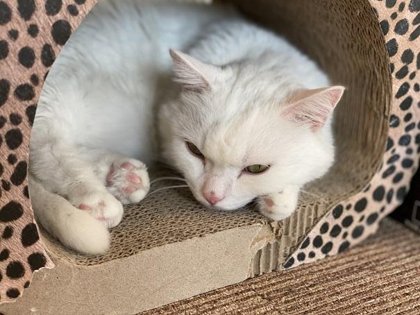 猫カフェルアナ 猫5
