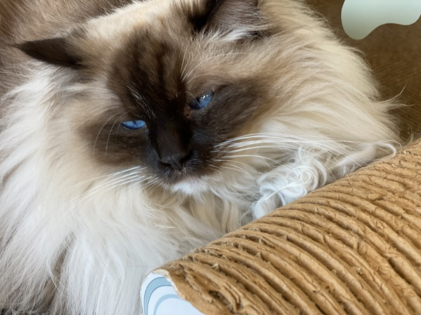 猫カフェルアナ 猫6