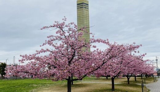 さくらの広場 河津桜が満開 ゴールドタワー近く 宇多津町