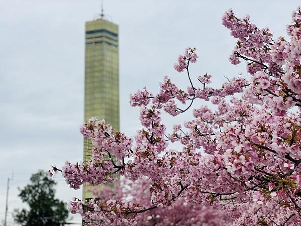 さくらの広場 河津桜とゴールドタワー2