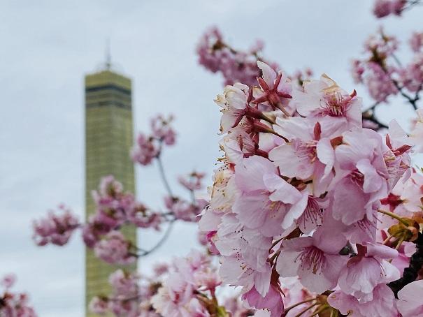 さくらの広場 河津桜とゴールドタワー3