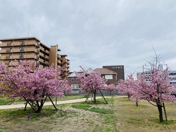 さくらの広場 河津桜3