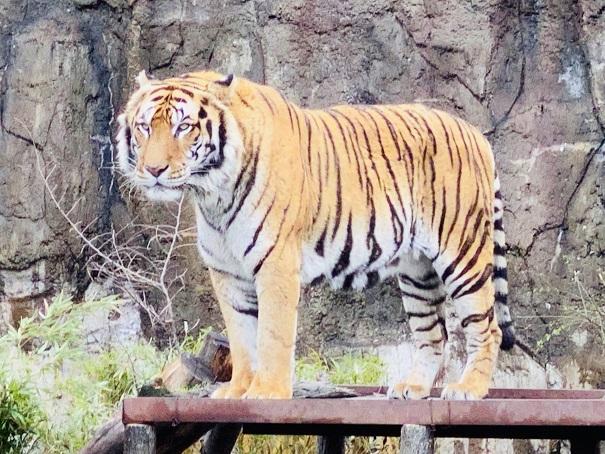 とべ動物園 トラ