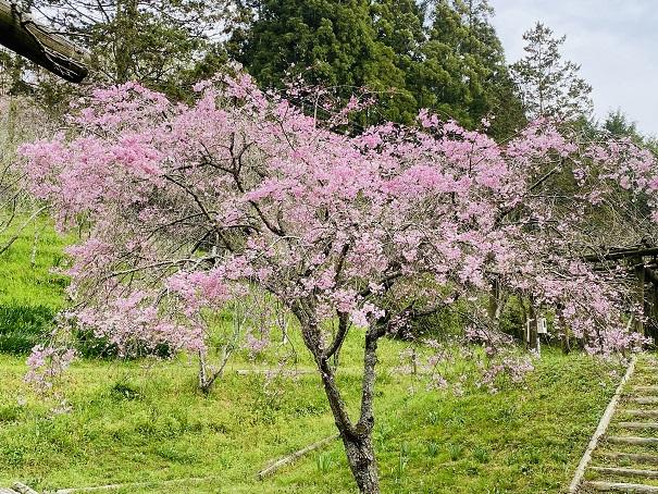しだれ桜園みろく自然公園
